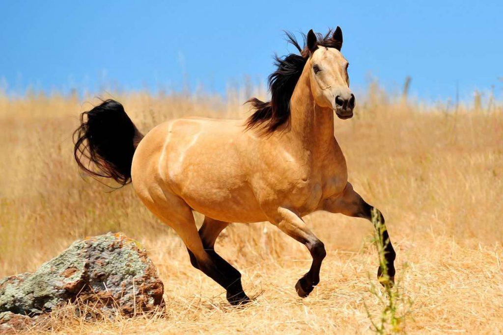 Буланий кінь