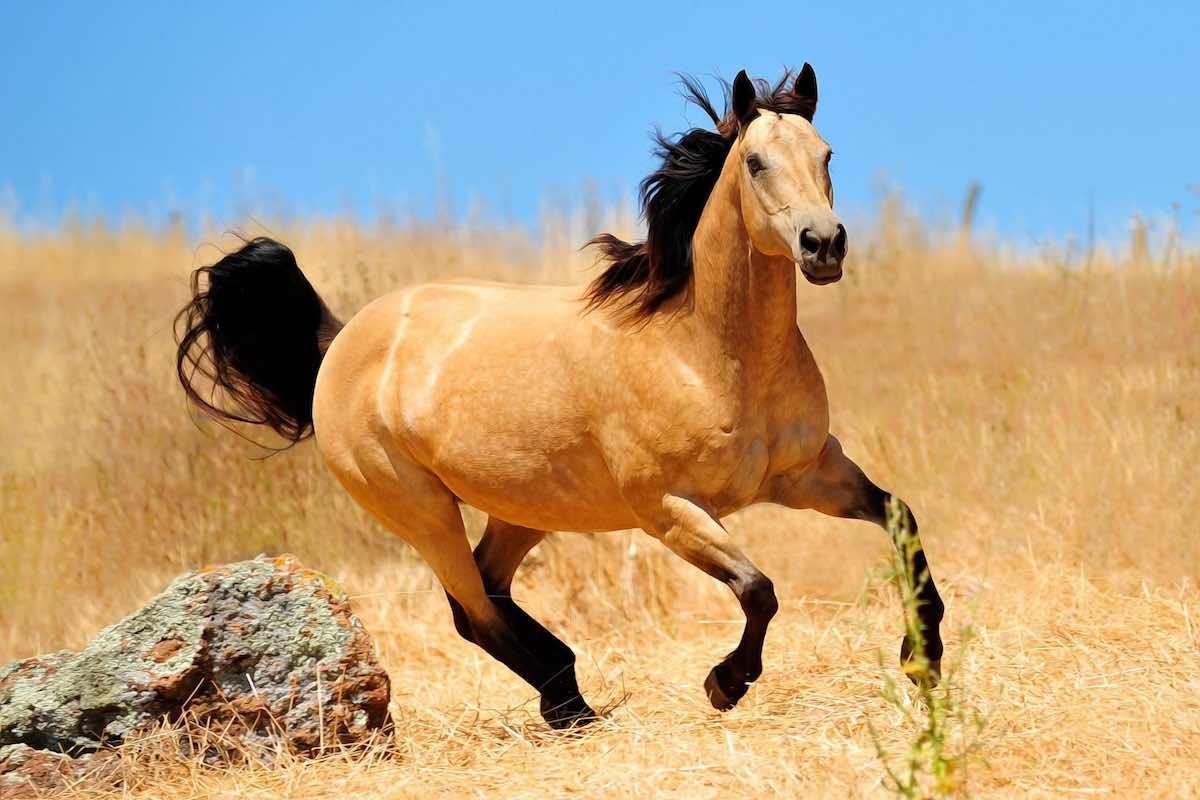 Буланый конь