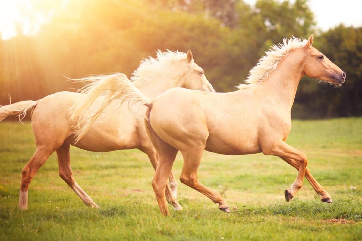 Соловый конь