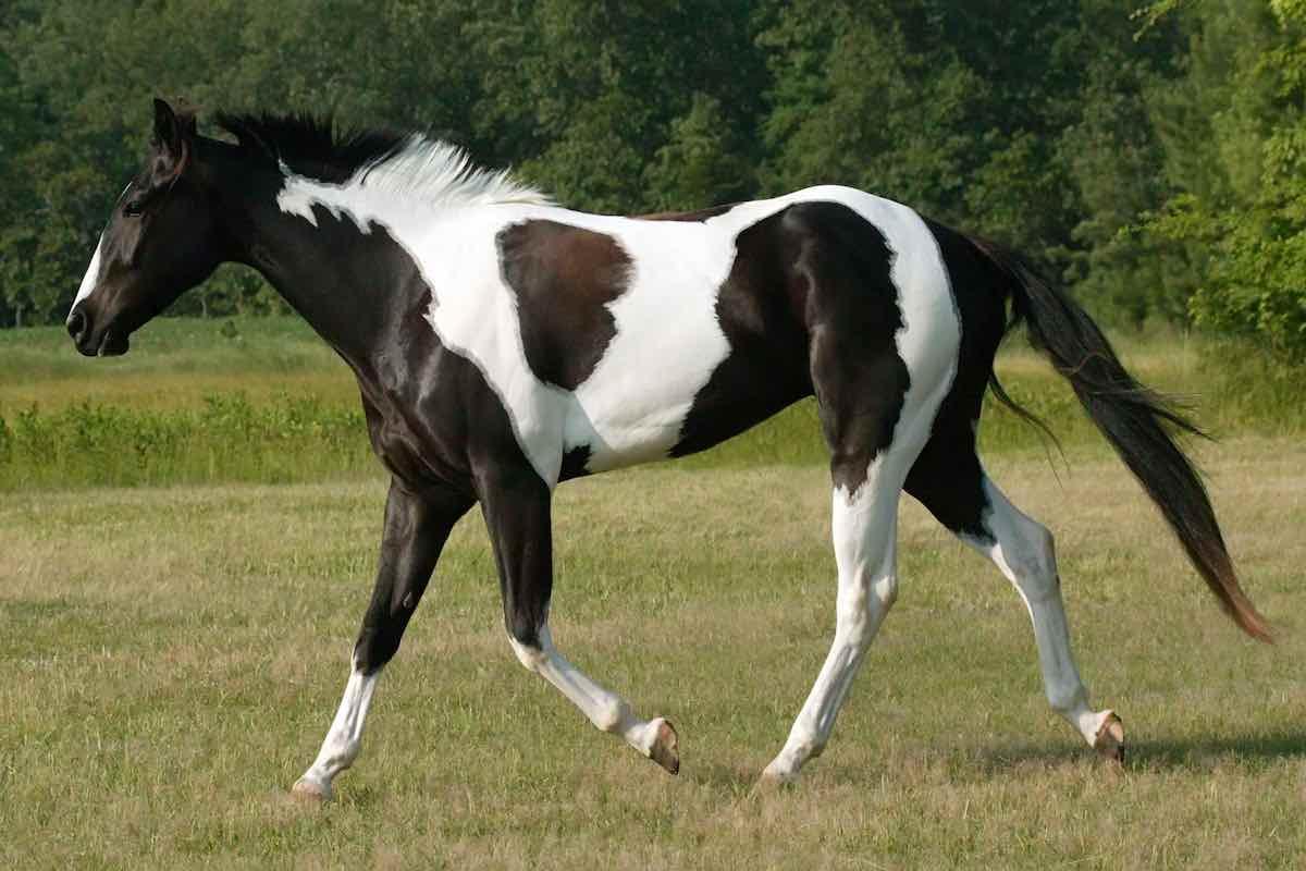 Типи рябих коней