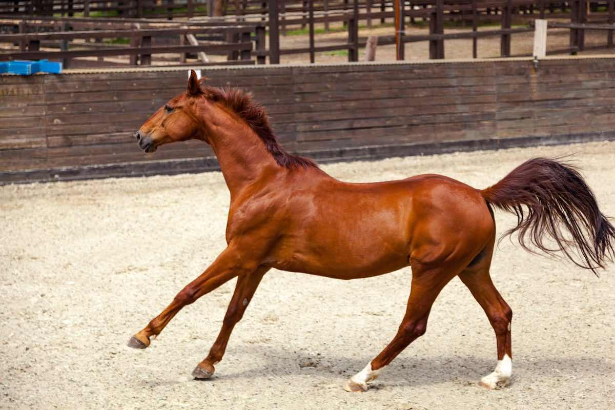 Рудий кінь