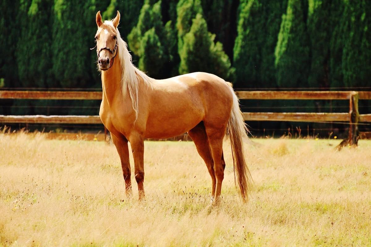 Разведение соловых лошадей
